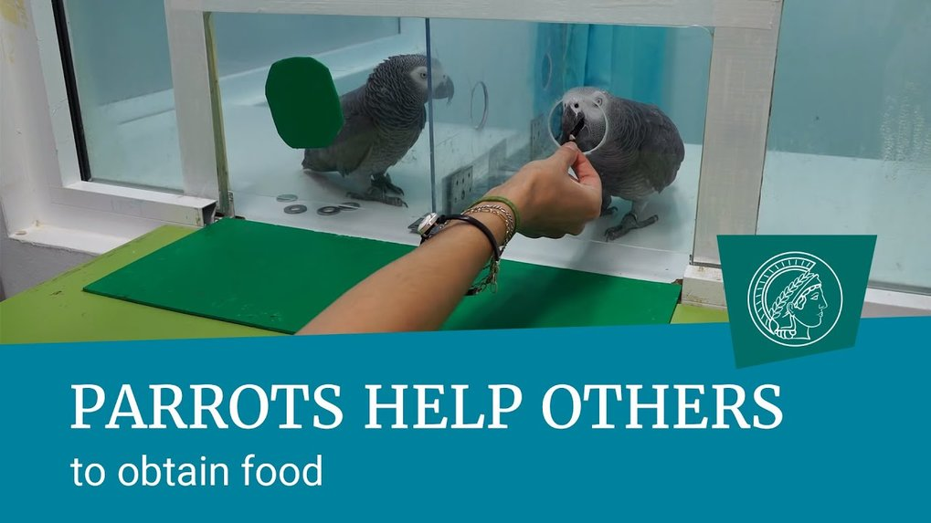 Grey parrots help others to obtain food