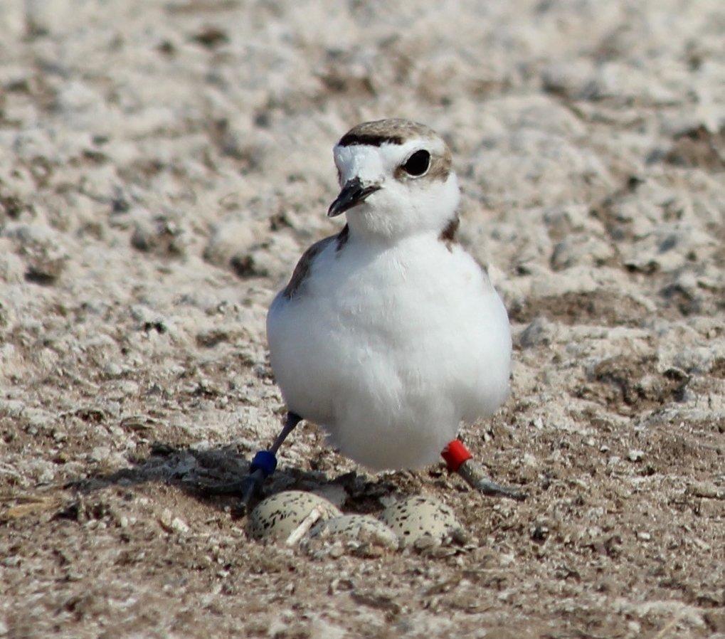 Weiblicher Schneeregenpfeifer: Die Brutgebiete dieses Watvogels sind durch die fortschreitende Bebauung der Küsten und die Popularität von Sandstrände