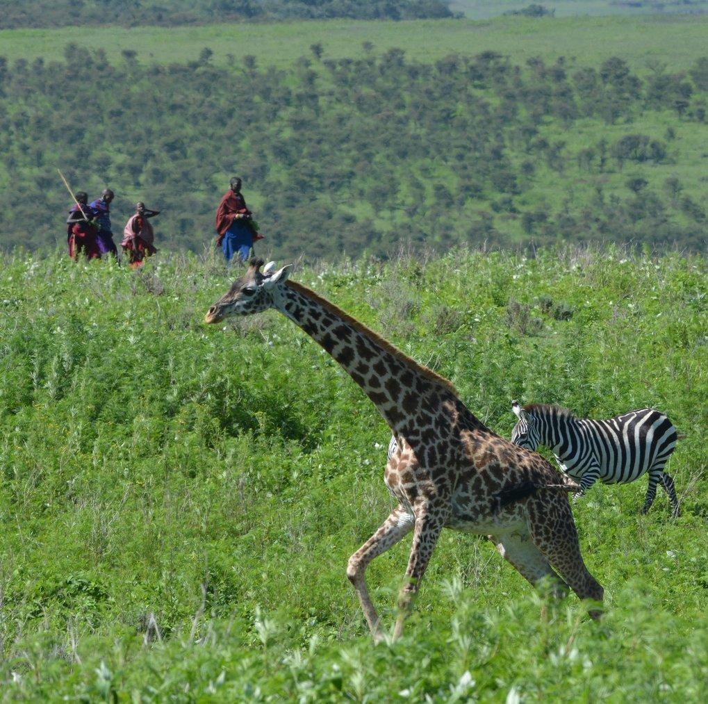 Die Anwesenheit von Menschen könnte dazu führen, dass sich Gruppen von Giraffen aufspalten.
