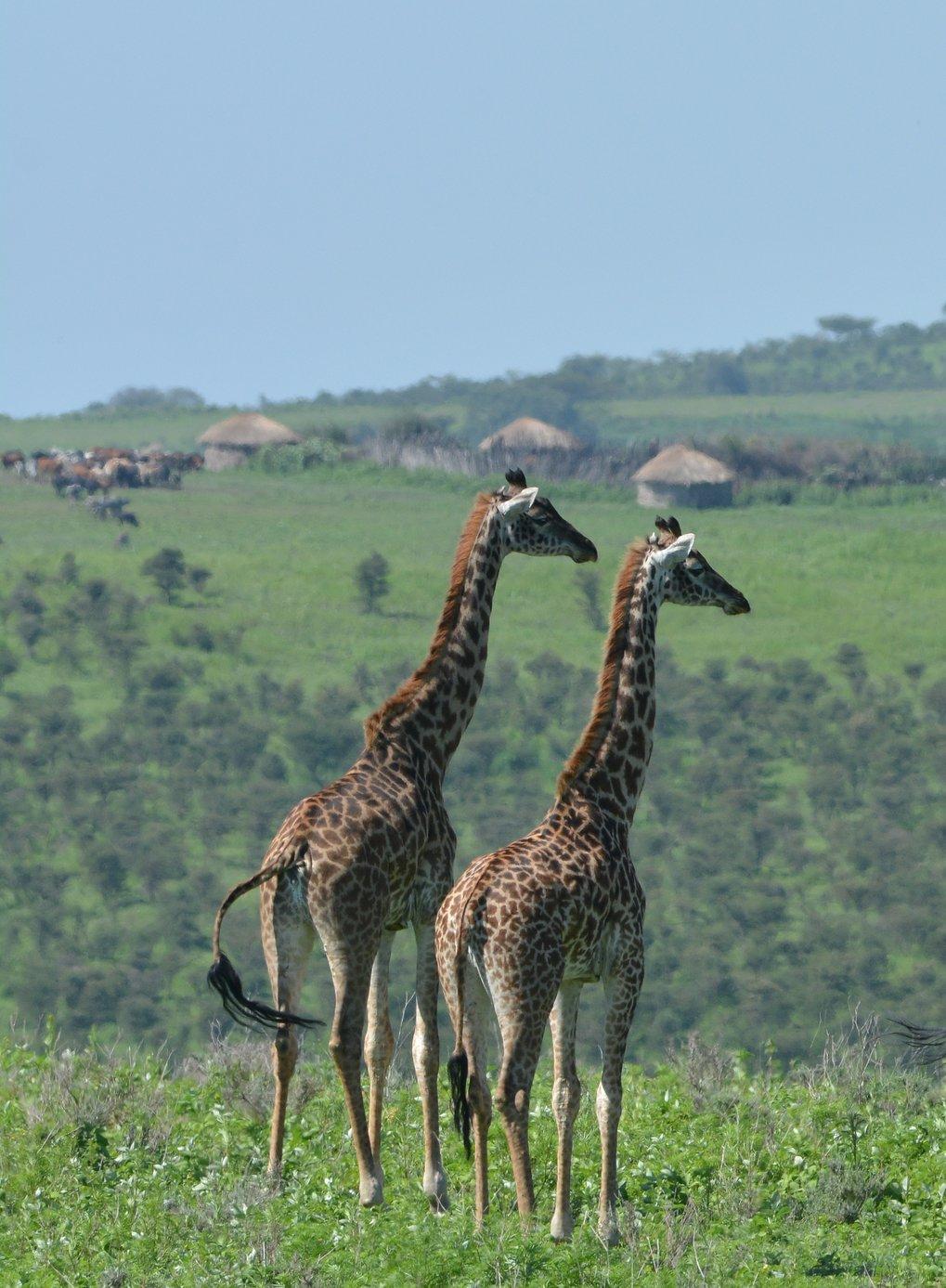Gestörte soziale Netzwerke könnten eine Ursache für den Rückgang der Giraffen sein.