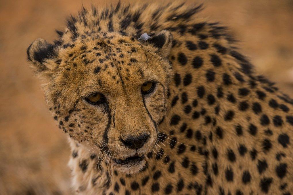 Gepard mit Mini-Sensor.