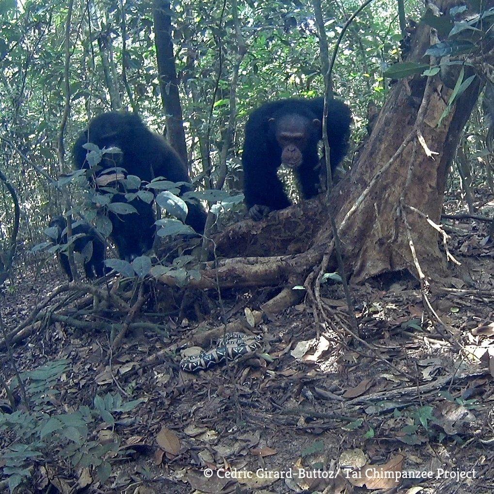 Später bei der Schlange ankommende Schimpansen waren besser informiert und daher weniger überrascht, sie an dieser Stelle zu sehen, als später eintref