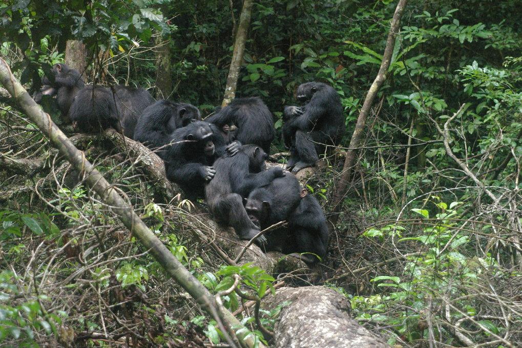 Schimpansen im Tai-Nationalpark. Die Tiere sind sehr sozial und leben in größeren Gruppen. Krankheitserreger können sich dadurch leicht in einer Popul