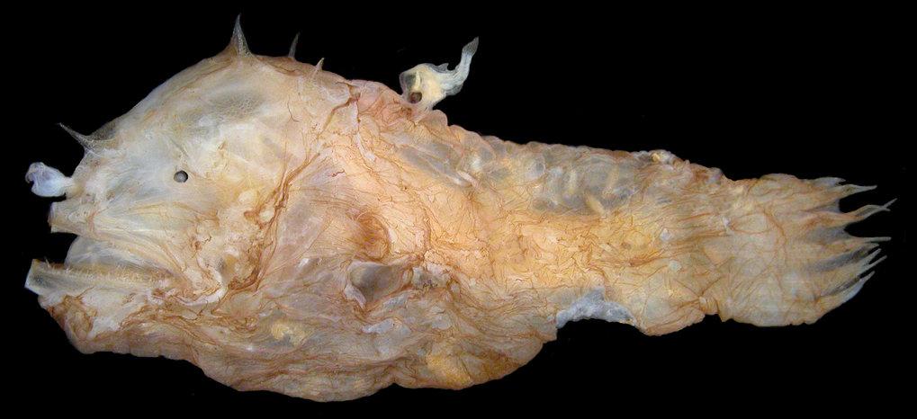 Weibchen der Spezies Photocorynus spiniceps, 46 mm, mit einem 6,2 mm großem parasitären Männchen, das mit dem Rücken des Weibchens verwachsen ist.