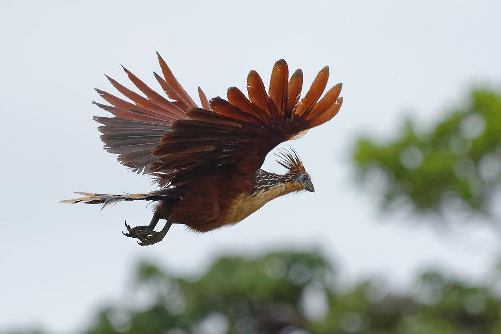 Der Hoatzin hatte vor etwa 64 Millionen Jahren einen letzten gemeinsamen Vorfahren mit den Caprimulgiformes (Ziegenmelker, Segler, Kolibris).