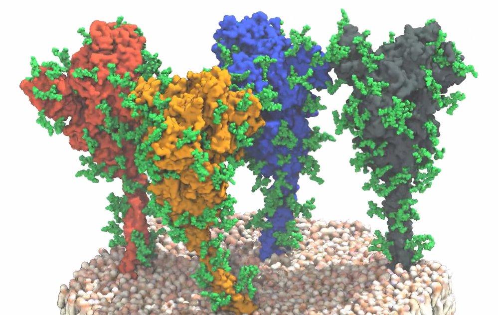 Vier Spike-Proteine auf der Membranoberfläche von Sars-CoV-2. Docken diese Proteine an ACE2-Rezeptoren auf der Oberfläche von Körperzellen an, kann da
