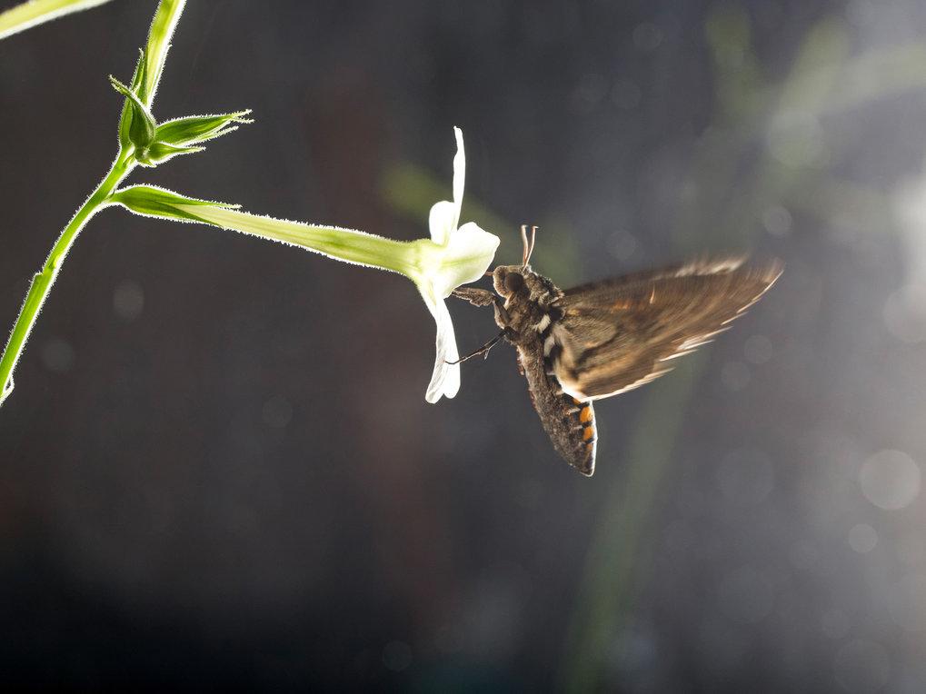 Ein Tabakschwärmer trinkt Nektar aus einer Blüte der Tabakart Nicotiana alata. Der nachtaktive Falter findet seine Nahrungsquelle anhand des Blütenduf
