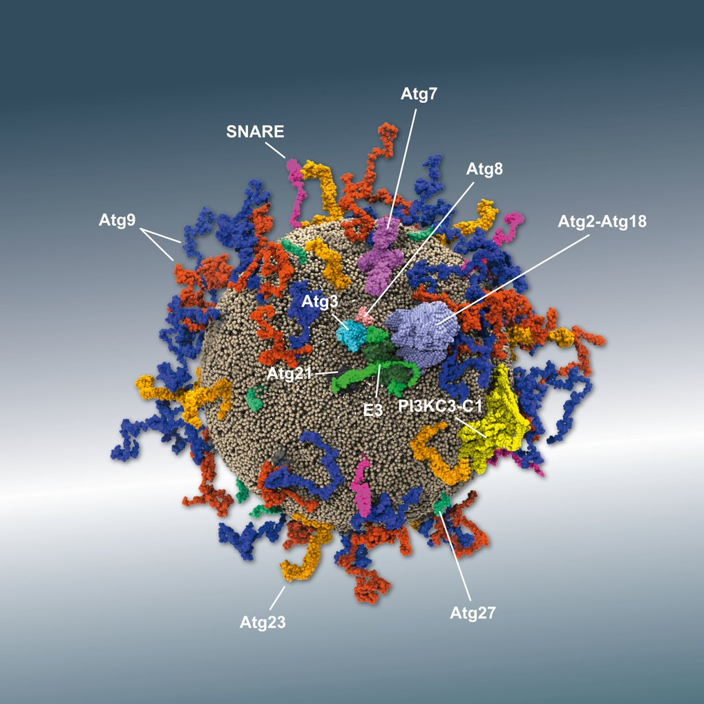 Details of autophagy machinery assembly
