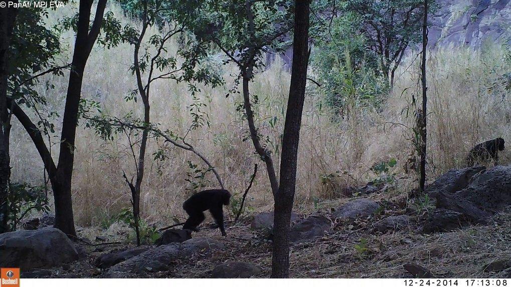 """Schimpansen durchqueren die Savanne in Bafing, Mali, und wurden dabei von einer Kamerafalle """"erwischt""""."""