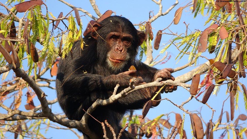 Ein junger Schimpanse beim Verspeisen des Inhalts von Samenkapseln (Issa-Tal, Tansania).