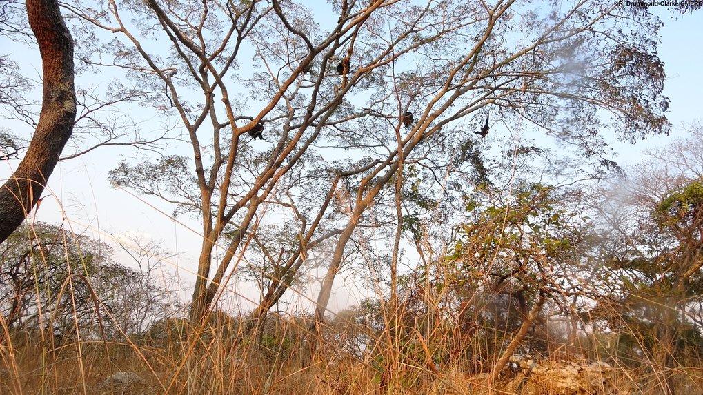Hoch hinaus: Savannenschimpansen bei der Nahrungsaufnahme (Issatal, Tansania).