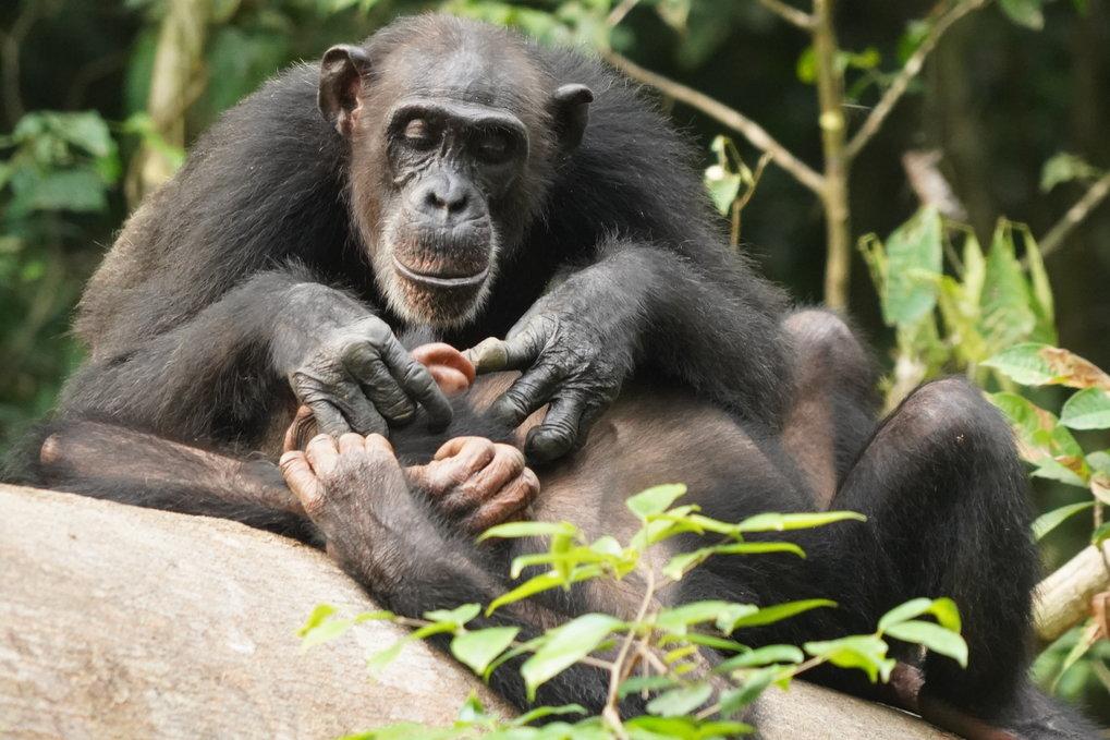 Die Anwesenheit und Fürsorge der Mutter während der besonders langen Kindheit ermöglicht es jungen Schimpansen, Fähigkeiten zu erlernen, die sie im Er
