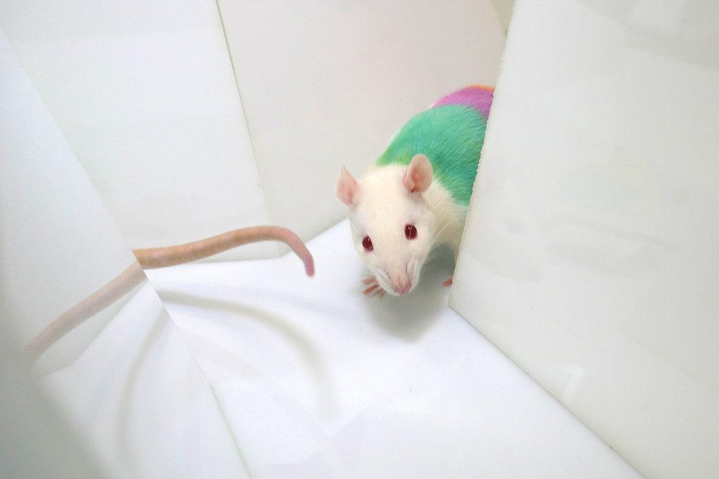 Die Ratten wurden mit Farben markiert, damit sie das automatische Videoverfolgungssystem identifizieren konnte.