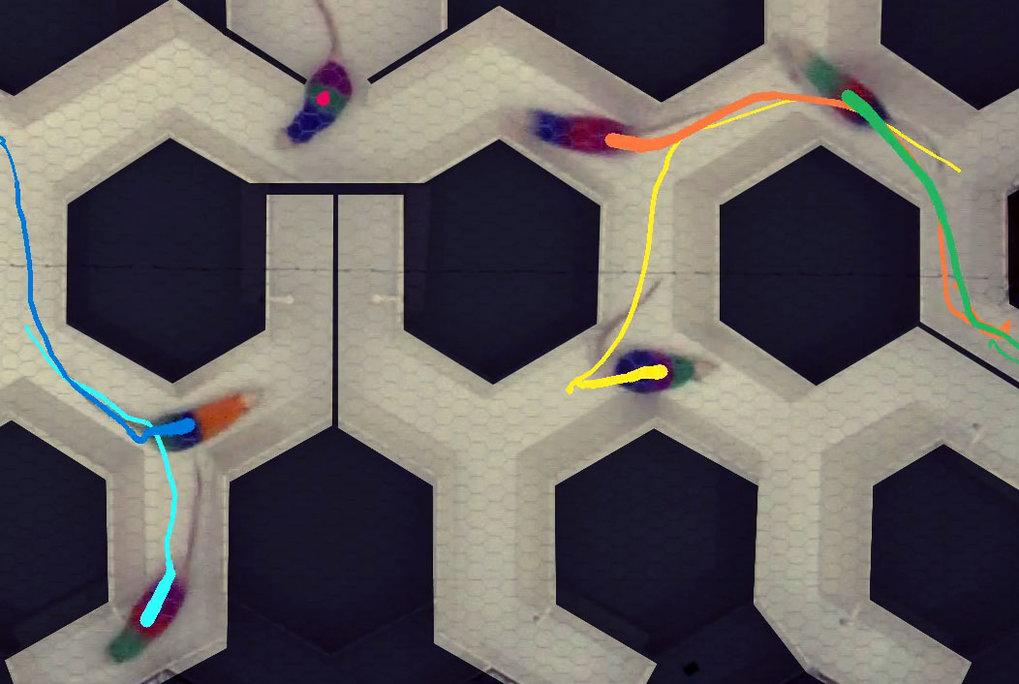 Die Forscher haben ein automatisiertes Videoverfolgungsprogramm für die Ratten im Labyrinth entwickelt.