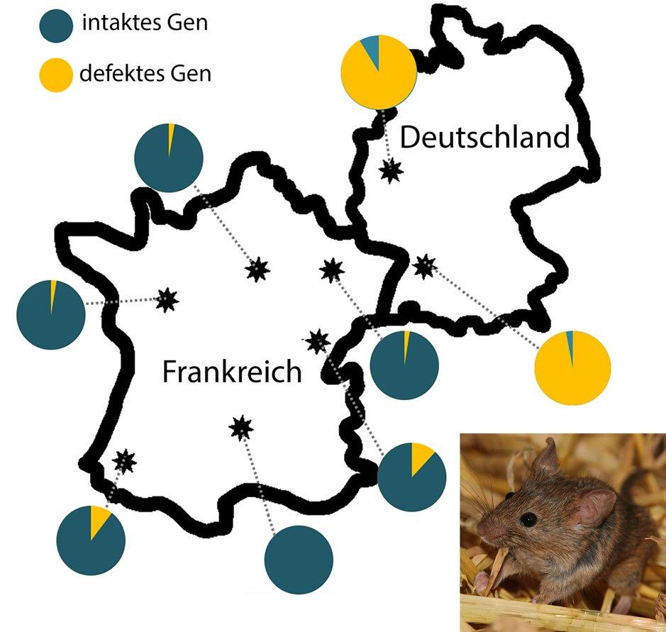 Ausbreitung des Amylase-Gens in Populationen der westlichen Hausmaus (die Fangorte sind durch Sterne gekennzeichnet). Die Tortendiagramme stellen den