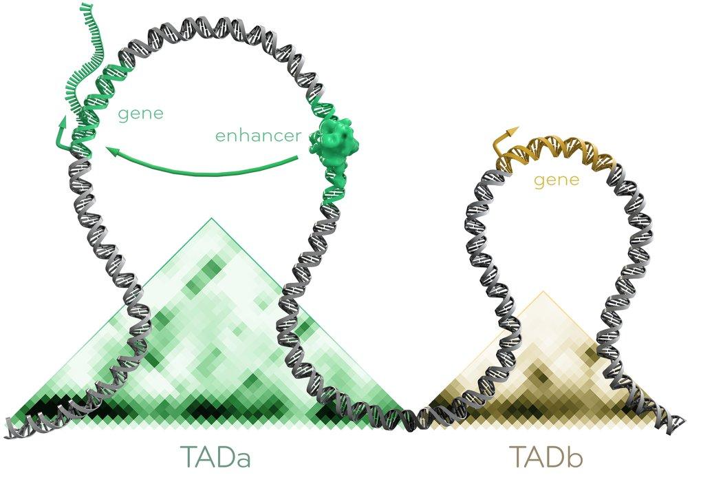 Innerhalb topologisch assoziierter Domänen (TADs, dargestellt durch Dreiecke) interagieren Gene und ihre Regulatoren miteinander. Regulatoren wirken o