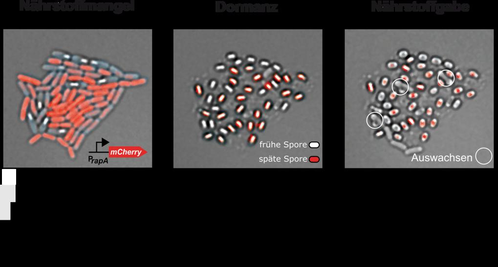 Sporenbildung ist ein mehrzelliger Prozess. Links: Gestaffelte Sporulation; Mitte: Frühe und späte Sporen; rechts: Selektives Aufleben. Die Sporen ent