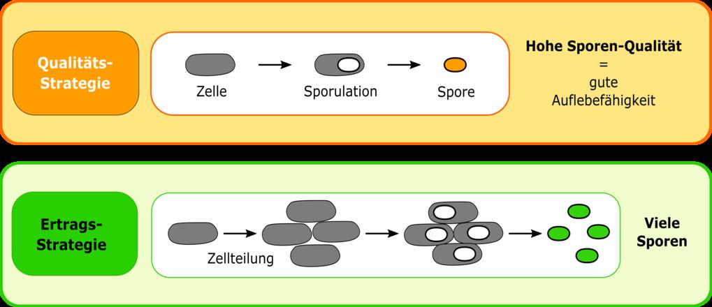 Verschiedene Lebenszyklusstrategien sporenbildenden Bakterien.