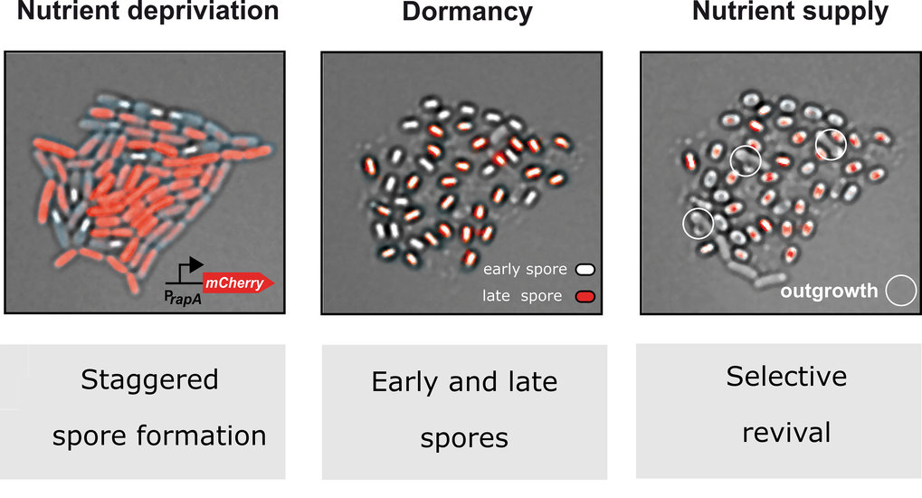Spore formation in fast motion