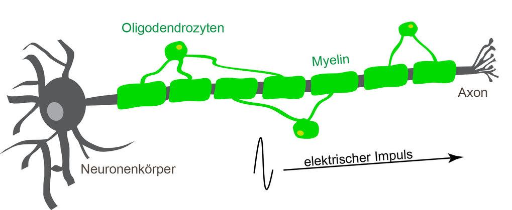 Oligodendrozyten umhüllen mit ihren Fortsätzen das Axon einer Nervenzelle. Sie bilden auf diese Weise eine elektrische Isolationsschicht um das Axon u