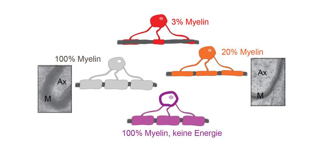 Für ihre Studie haben die Forschenden genetisch veränderte Mäuse untersucht, die weniger Myelin (rot, orange) als normal (grau) produzieren sowie Mäus