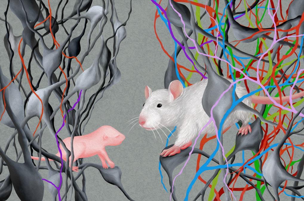 Neuronale Schaltkreise von Jungtieren und heranwachsenden Mäusen, kartiert mit hoher Präzision.