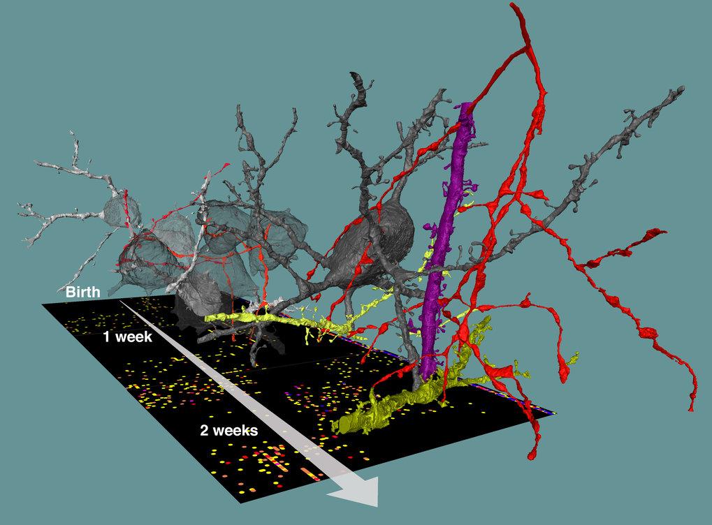 Konnektome bei der Gehirnentwicklung: die Bildung hemmender Schaltkreise von der Geburt bis zum Erwachsenenalter.