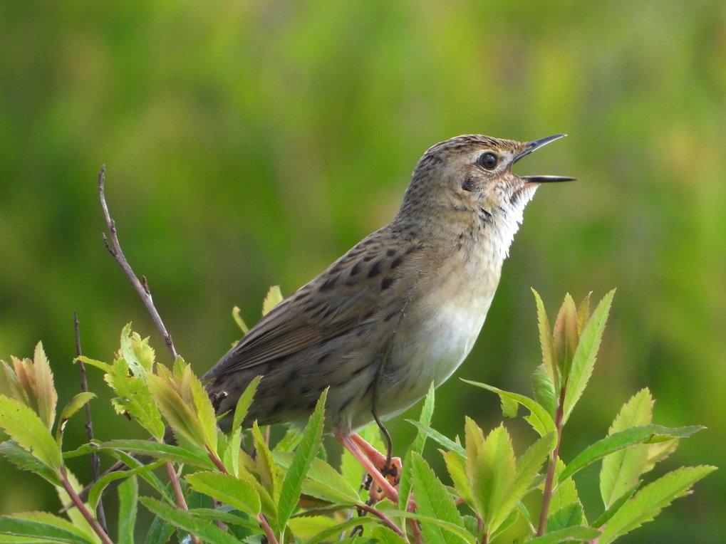 Eine Globale Studie von Singvögeln wie diesem Feldschwirl zeigt, dass die Frequenzen der Gesänge vor allem von der Körpergröße abhängen.