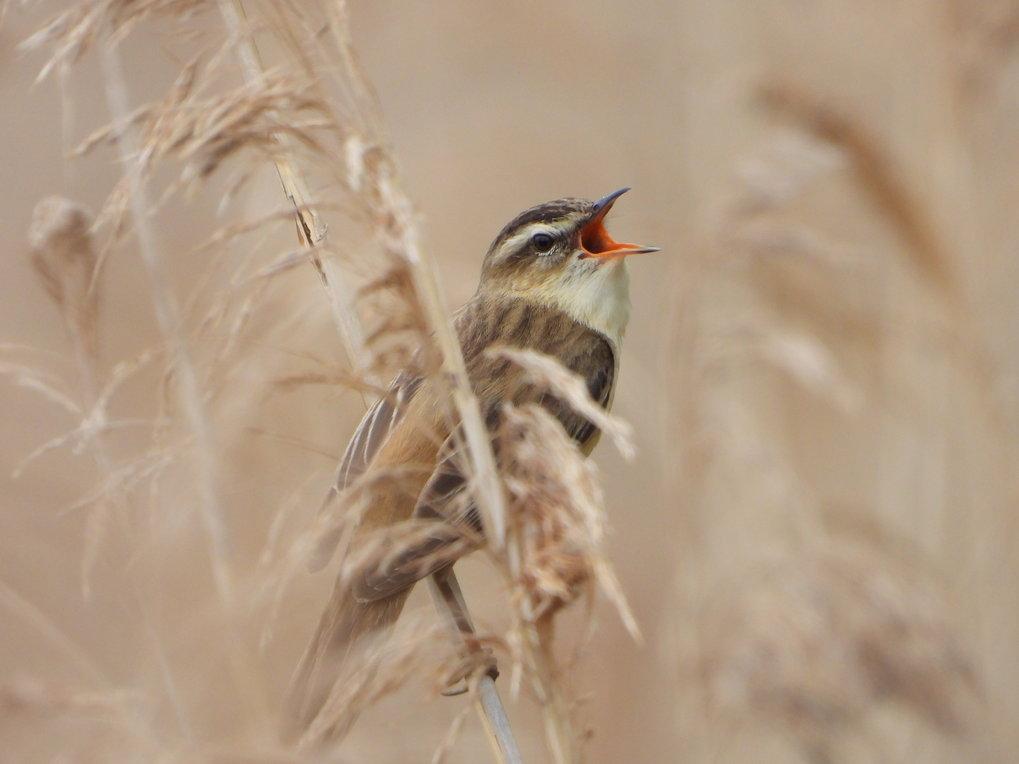 Entgegen einer Theorie aus den 1970er Jahren beeinflusst die Art des Lebensraums die Gesangsfrequenz nicht, obwohl im dicht bewachsenen Habitat wie hi