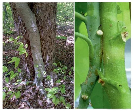 Eine natürliche Pfropfung zwischen Buche (vorne) und Ahorn (hinten) in einem Wald bei Monroe, New Jersey (linkes Bild), und eine ähnliche Pfropfung zw