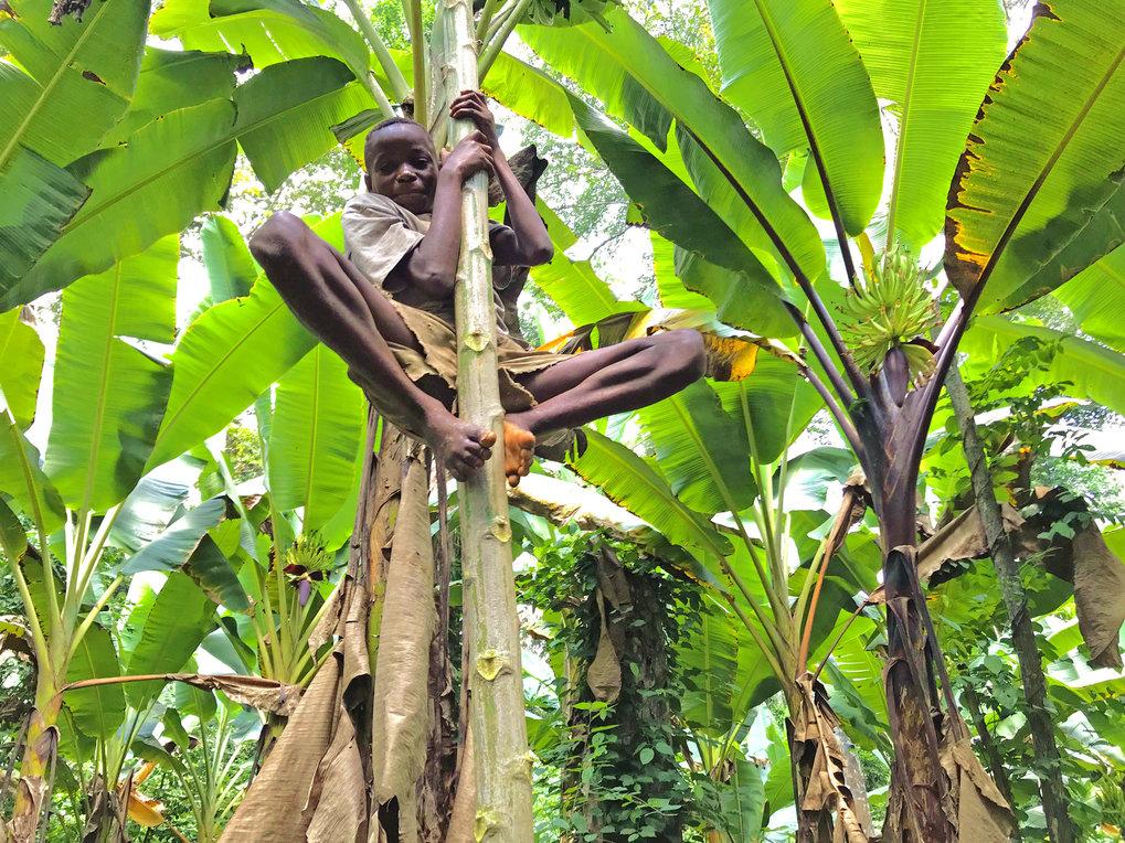Ein BaYaka-Junge klettert auf einen Papayabaum, um Früchte zu ernten.