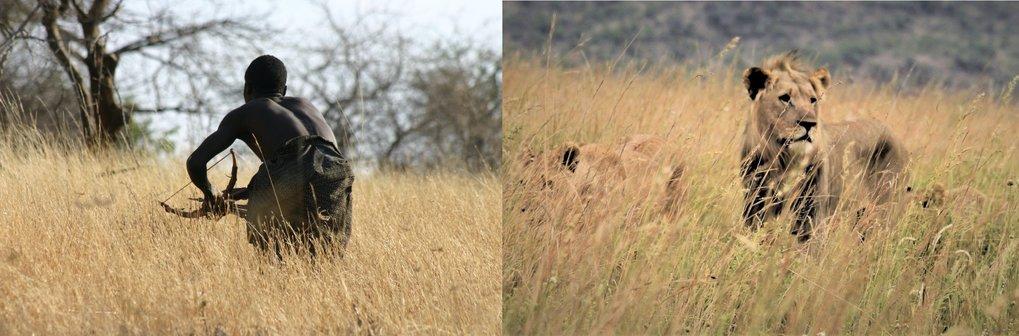 Links: Dofu, ein Hadza, bei der Jagd nach Beutetieren. Rechts: Löwen auf der Pirsch.