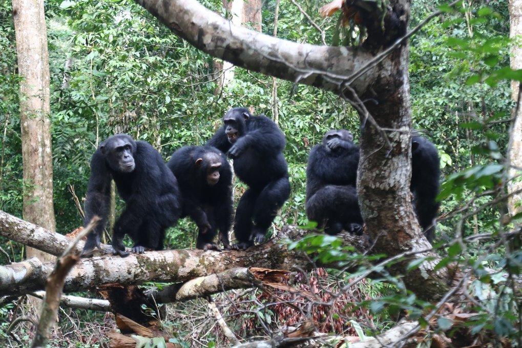 Schimpansen schließen sich ihren engen Bindungspartnern - verwandten und befreundeten Gruppenmitgliedern - im Kampf gegen Rivalen an.