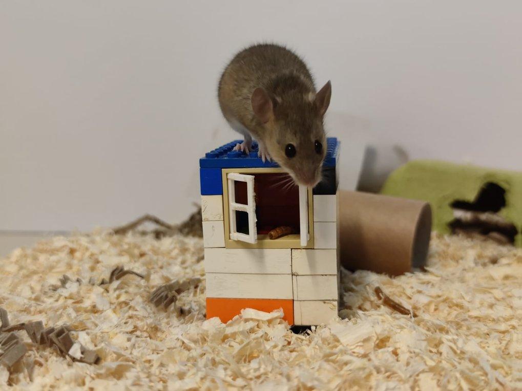 Forschende testen mit Verhaltensexperimenten die Fähigkeit von Mäusen, Probleme zu lösen.