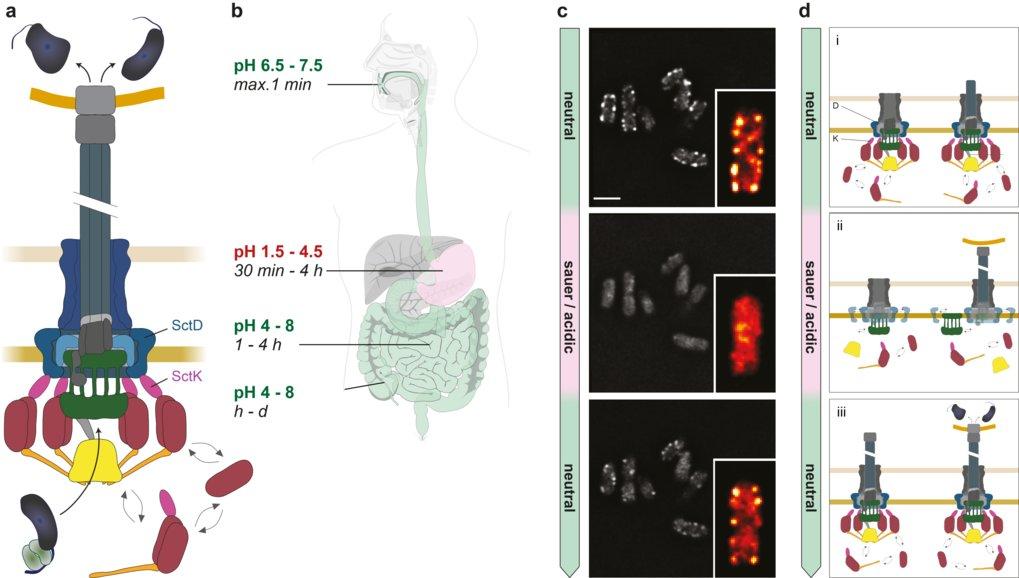 Anpassung des bakteriellen Typ III-Sekretionssystems an den Umgebungs-pH (a) Schematische Darstellung des aktiven T3SS-Injektisoms. Effektorproteine (