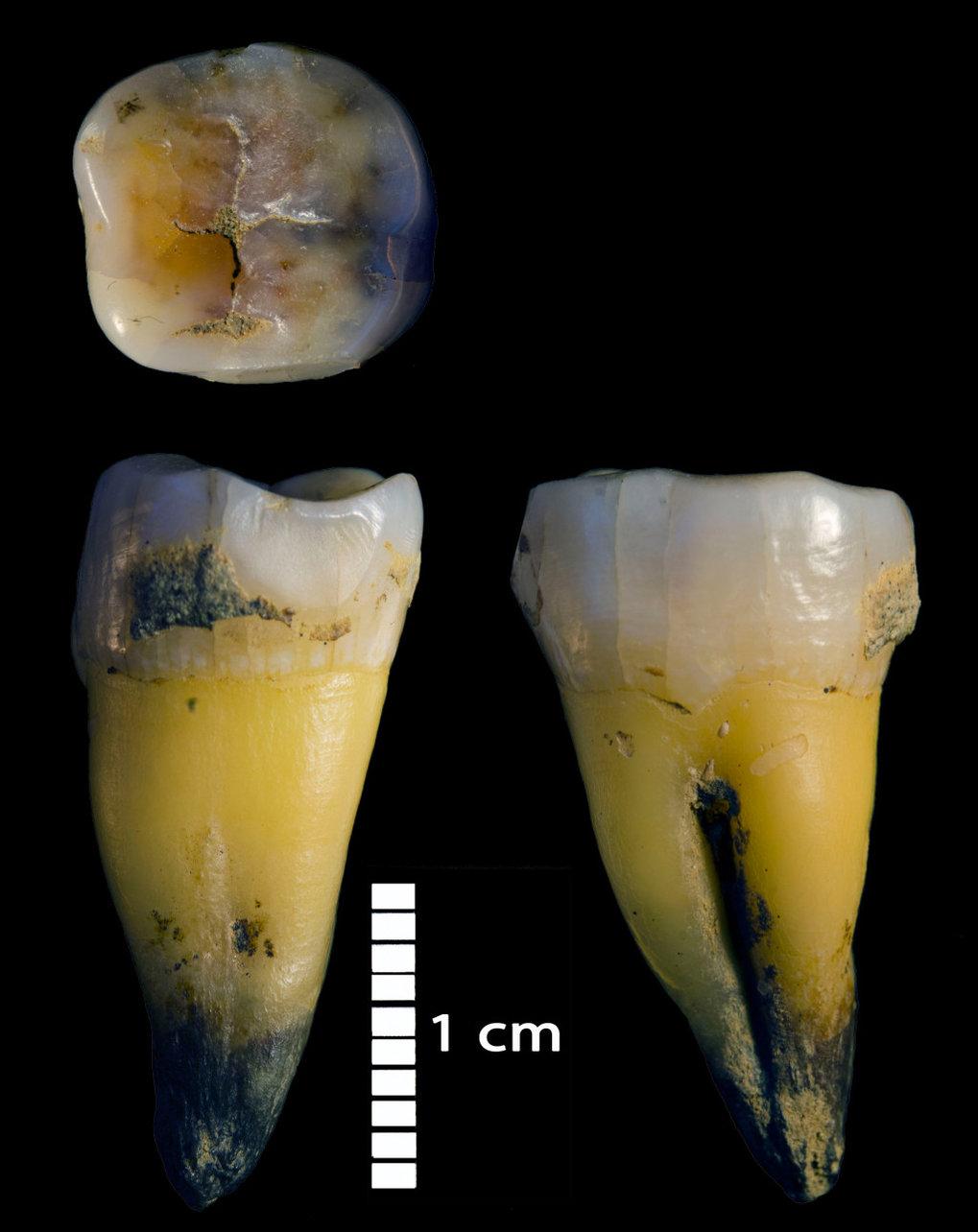 Zweiter unterer Backenzahn eines modernen Menschen, gefunden zusammen mit den ersten Steinwerkzeugen aus dem Jungpaläolithikum im Hauptsektor der Höhl