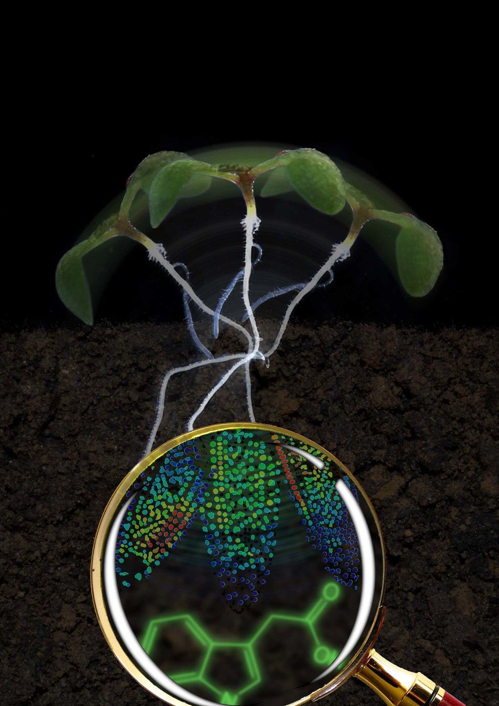 Keimling der Acker-Schmalwand (Arabidopsis thaliana). Die Lupe vergrößert die Wurzelspitze: Die Zellkerne sind mit zunehmender Auxin-Menge von blau üb
