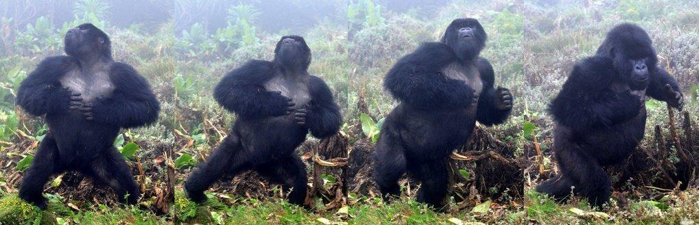 Männlicher Gorilla beim Brusttrommeln.