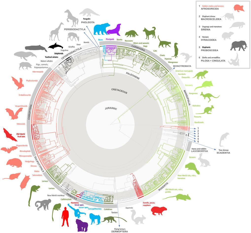 Die Studie untersuchte über 1000 Säugetiere, um herauszufinden, wie sich die relative Gehirngröße im Laufe der Evolution verändert hat. In der Grafik