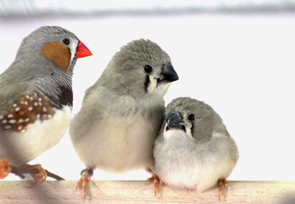 Verkehrslärm beeinträchtigt das Gesangslernen und hemmt darüber hinaus das Immunsystem junger Zebrafinken.