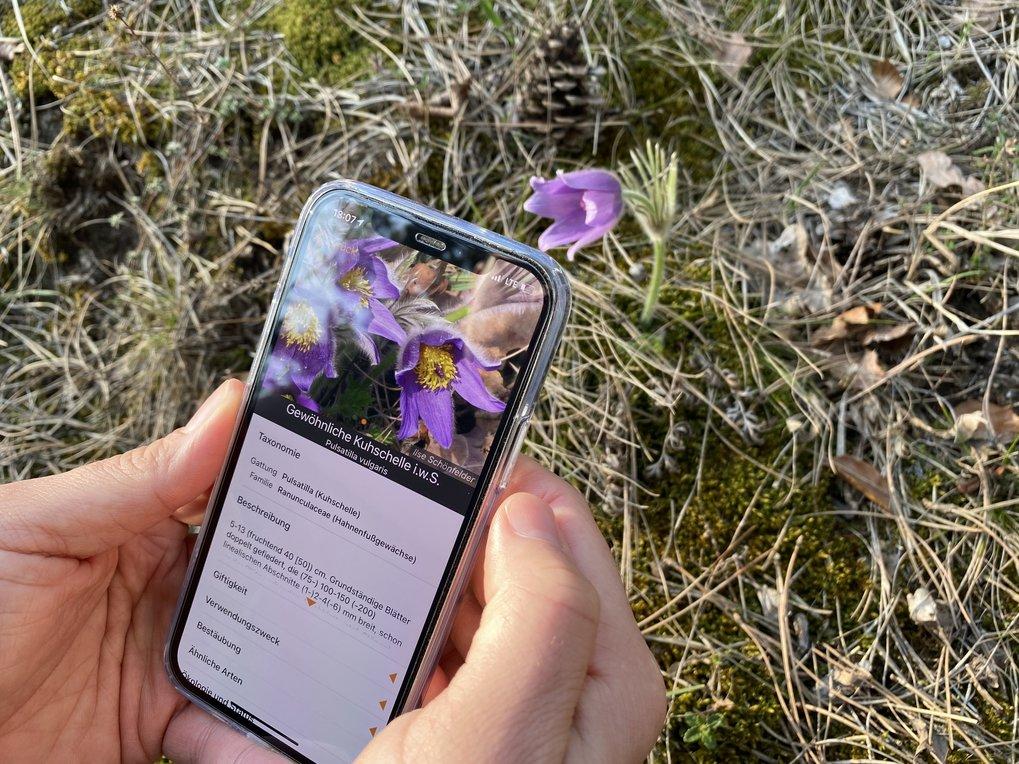 Die App Flora Incognita kann Pflanzen bestimmen. Mithilfe der Standortdaten der erfassten Pflanzenarten entstehen außerdem wertvolle Datensätze zur Ve