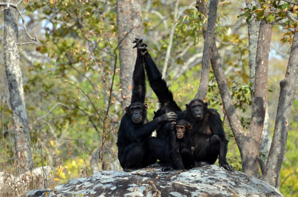 Schimpansen und andere afrikanische Menschenaffen könnten in den nächsten 30 Jahren bis zu 94 Prozent ihres Verbreitungsgebietes verlieren.