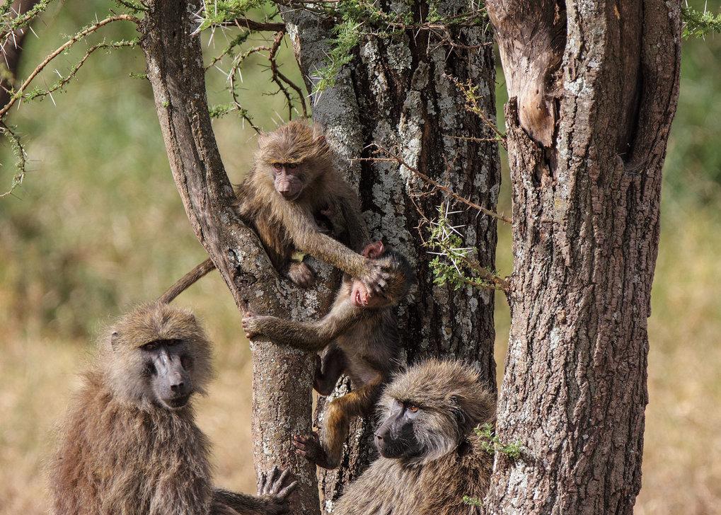 Weibliche Anubispaviane mit Jungtieren. Die Weibchen bleiben in der Regel ihr ganzes Leben in ihrer Horde. Sie haben eine feste Position innerhalb der