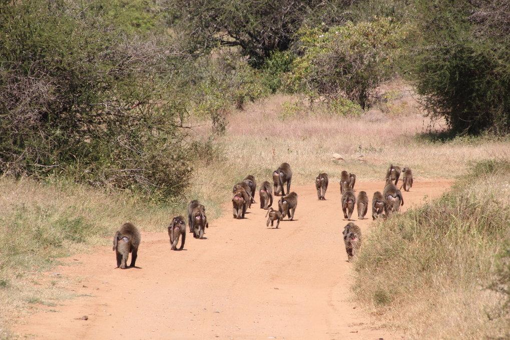 Eine Horde Anubispaviane in der Savanne Kenias. Wahrscheinlich folgen die Tiere gerne Straßen, weil sie so schneller vorankommen. Damit die Gruppe zus