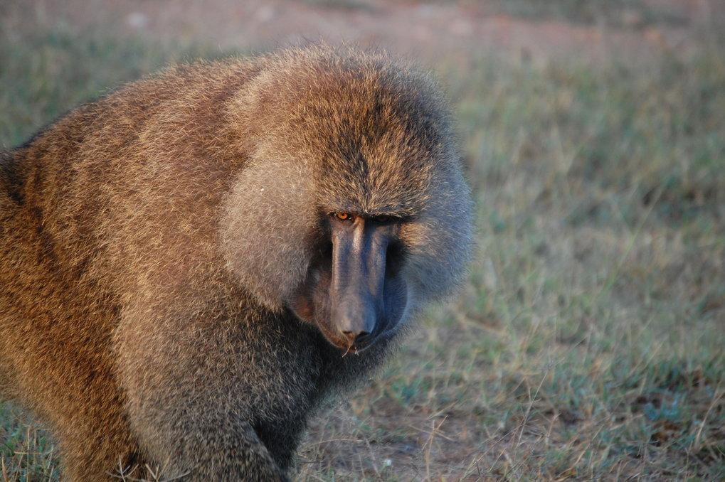Die dichte Mähne ist das typische Merkmal ausgewachsener Männchen. Diese bringen bis zu 40 Kilogramm auf die Waage und besitzen längere Eckzähne als e