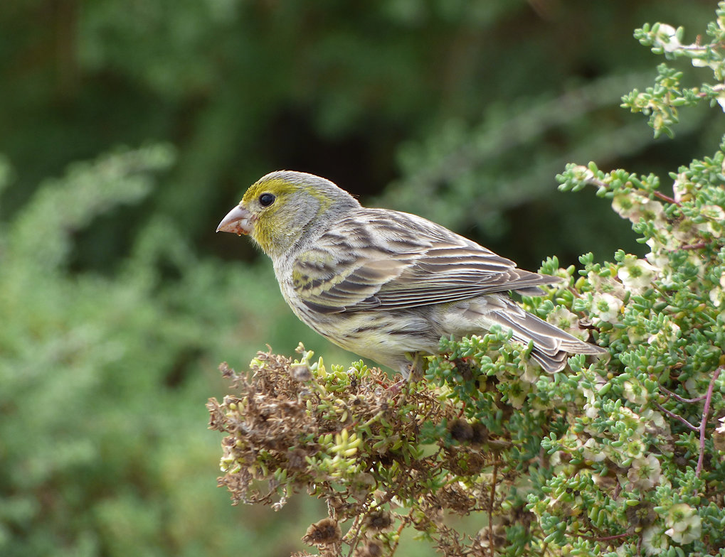 Ein Kanarengirlitz (Serinus canaria), ein körnerfressender Singvogel.