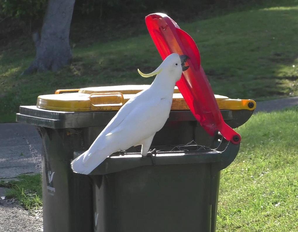 Kakadus in Sydney haben sich voneinander abgeschaut, wie sie Mülltonnen öffnen und daraus Futter erbeuten können.