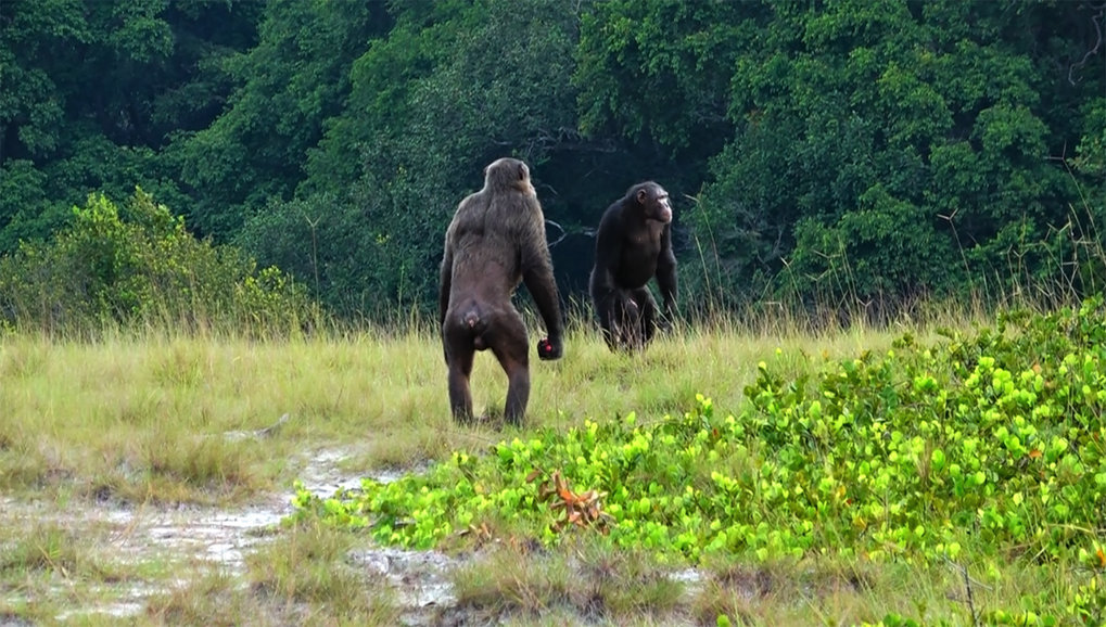 Zwei erwachsene Männchen der Rekambo-Gruppe des Loango Chimpanzee Project in Gabun erkunden die Umgebung.