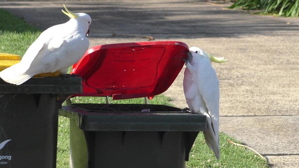 Auf frischer Tat ertappt: ein Gelbhaubenkakadu, der den Deckel einer Mülltonne mit einer seiner verschiedenen Techniken öffnet. Der Vogel hält den Dec