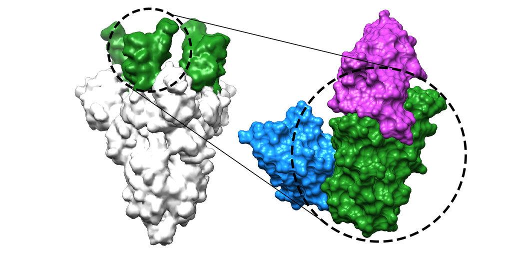 Zwei der neuentwickelten Nanobodies (blau und magenta) binden an die Rezeptor-Bindedomäne (grün) des Coronavirus-Spike-Proteins (grau) und verhindern